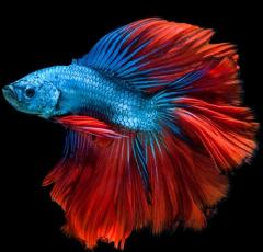 Picture of a Betta fish with the same colors and swoosh of the Bookshare logo